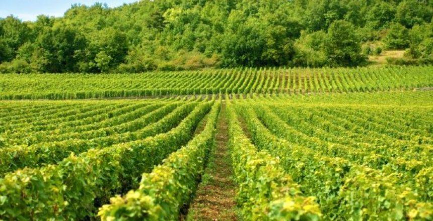 vineyard-france_1147-101